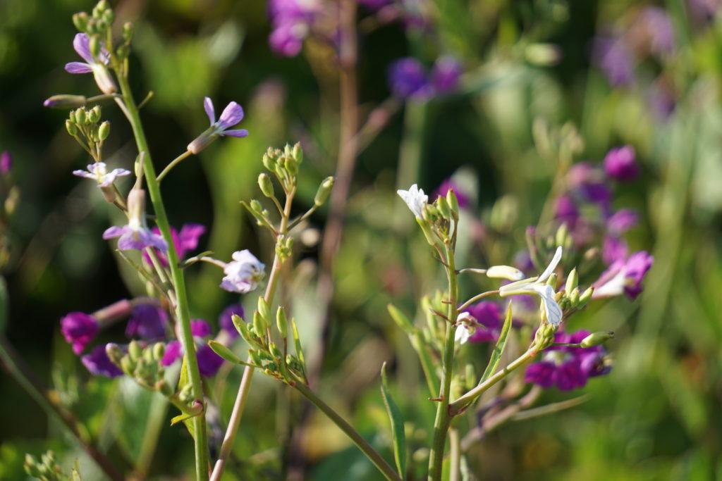 Spring Wildflowers Cambria Boardwalk
