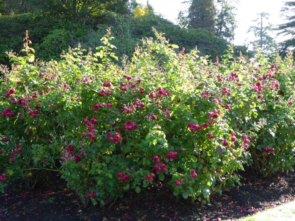 Rose Garden Stanley Park Vancouver