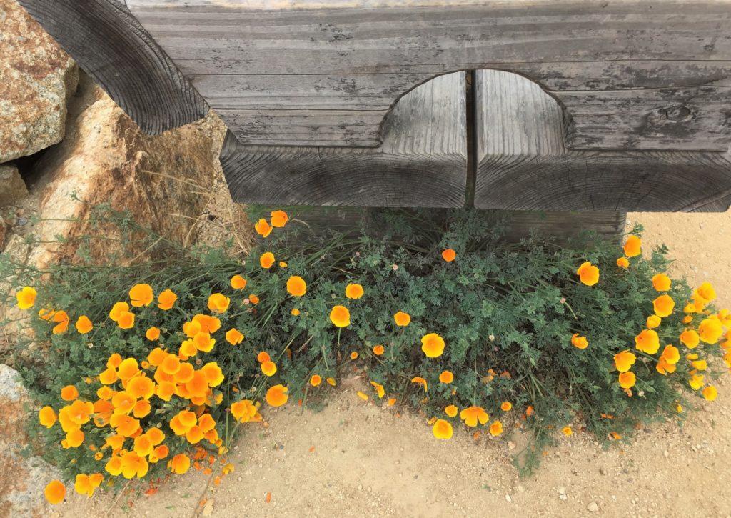 Golden poppies Point Lobos State Park Carmel