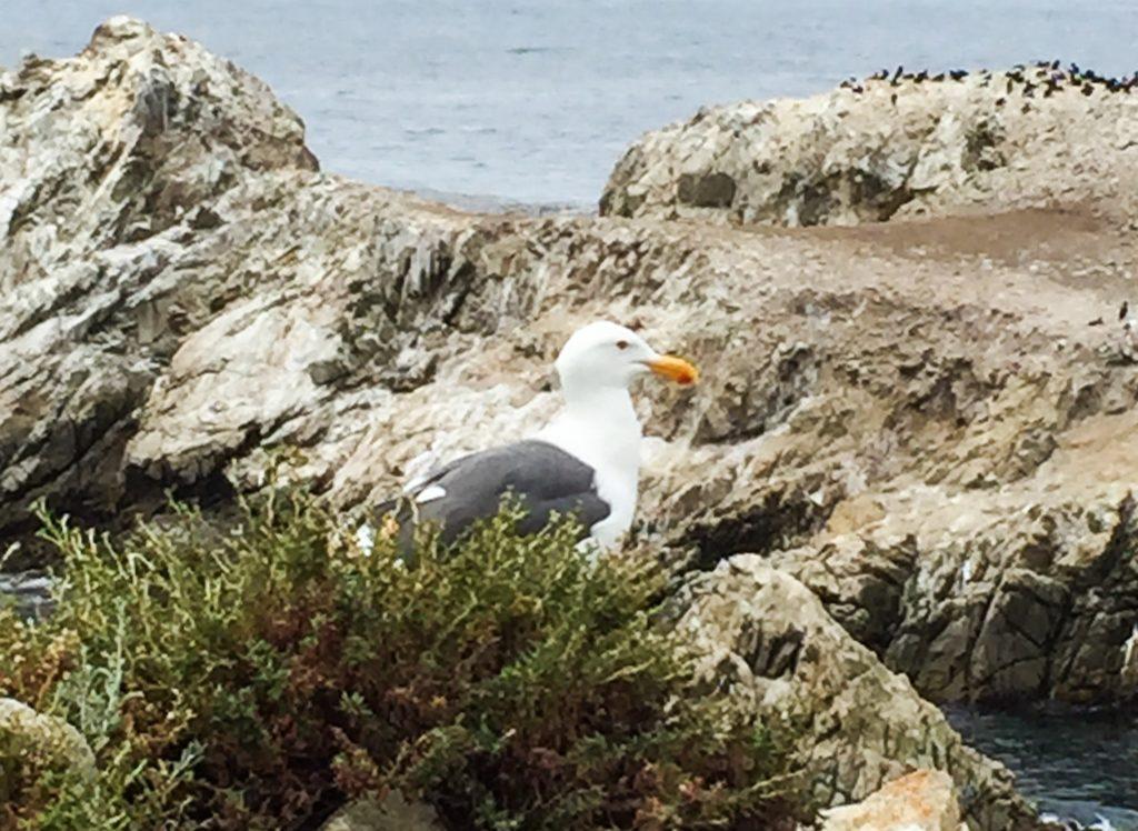 Sea gull Point Lobos State Park Carmel