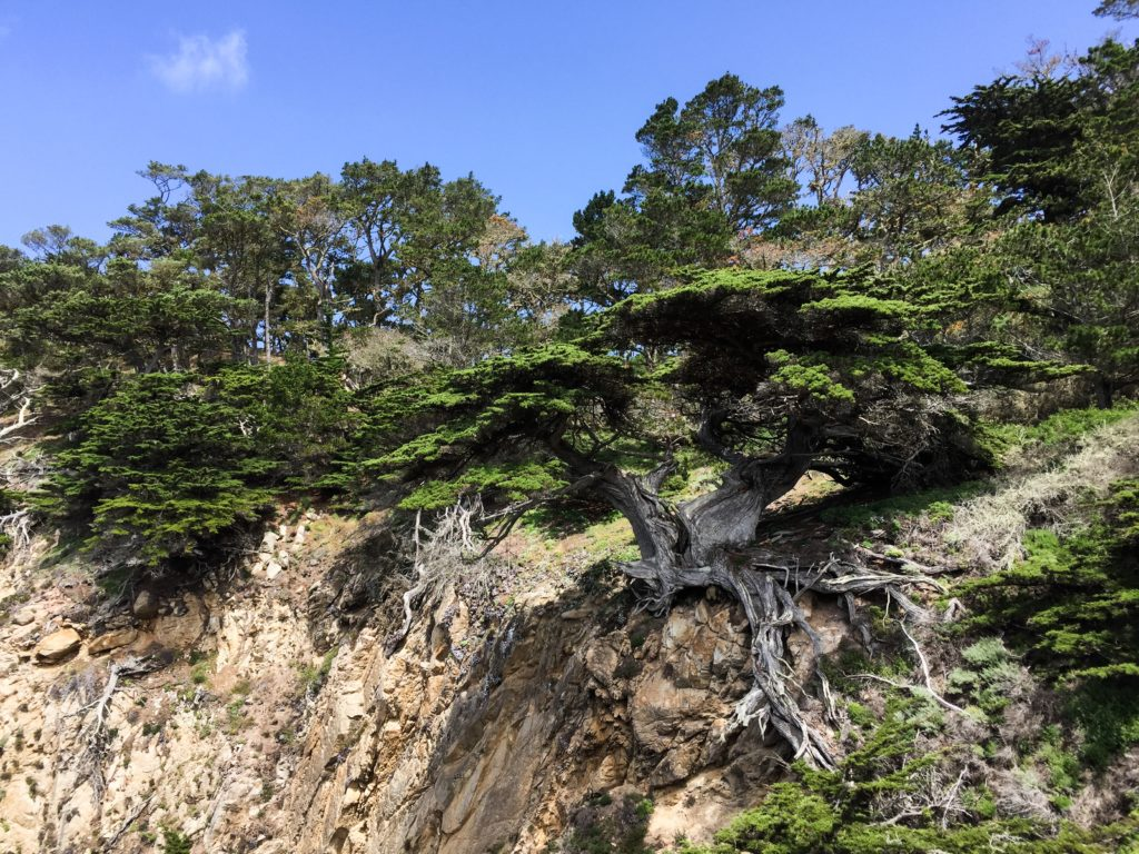 Monterey Cypress Clinging to the Cliffside Point Lobos State Park Carmel