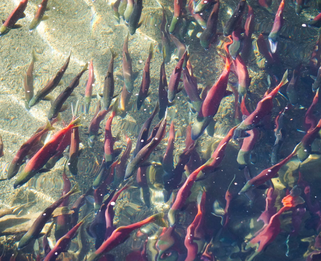 Annual Run of the Kokanee Salmon at Taylor Creek, Lake Tahoe