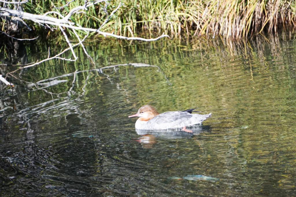 Duck swimming on Taylor Creek