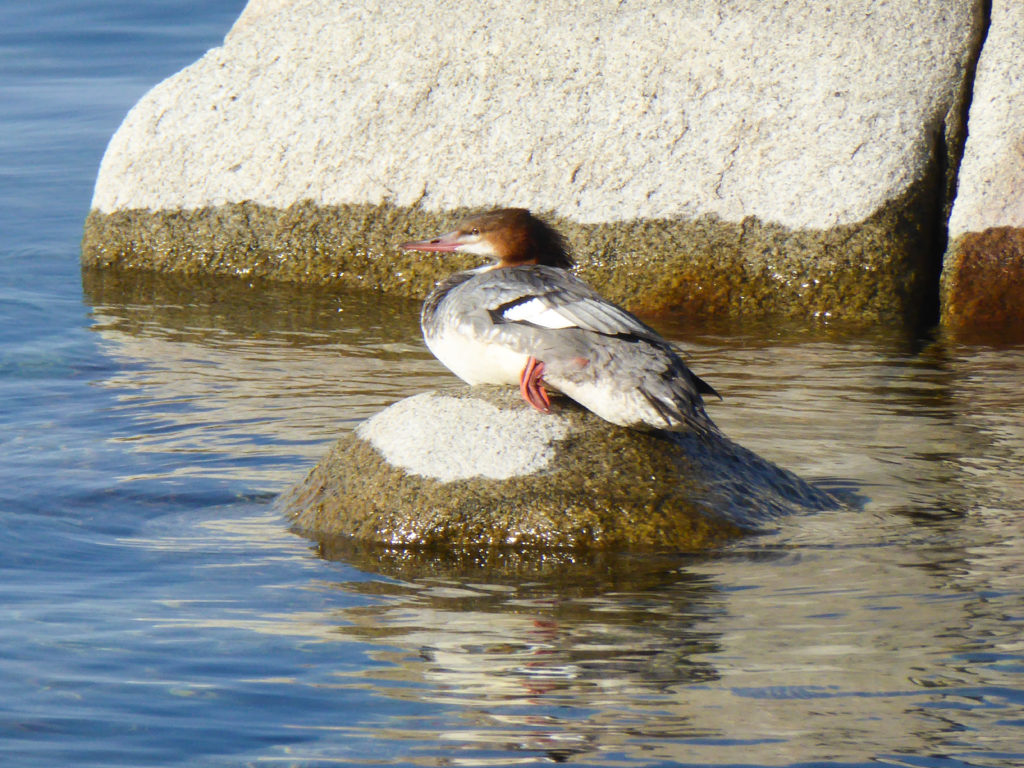 Aquatic Bird, Sand Harbor State Park, Lake Tahoe
