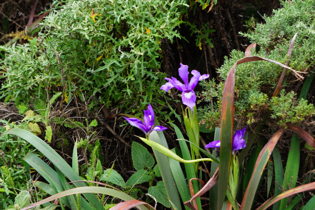 Wild Iris at Garrapata State Park on the Pacific Coast Highway