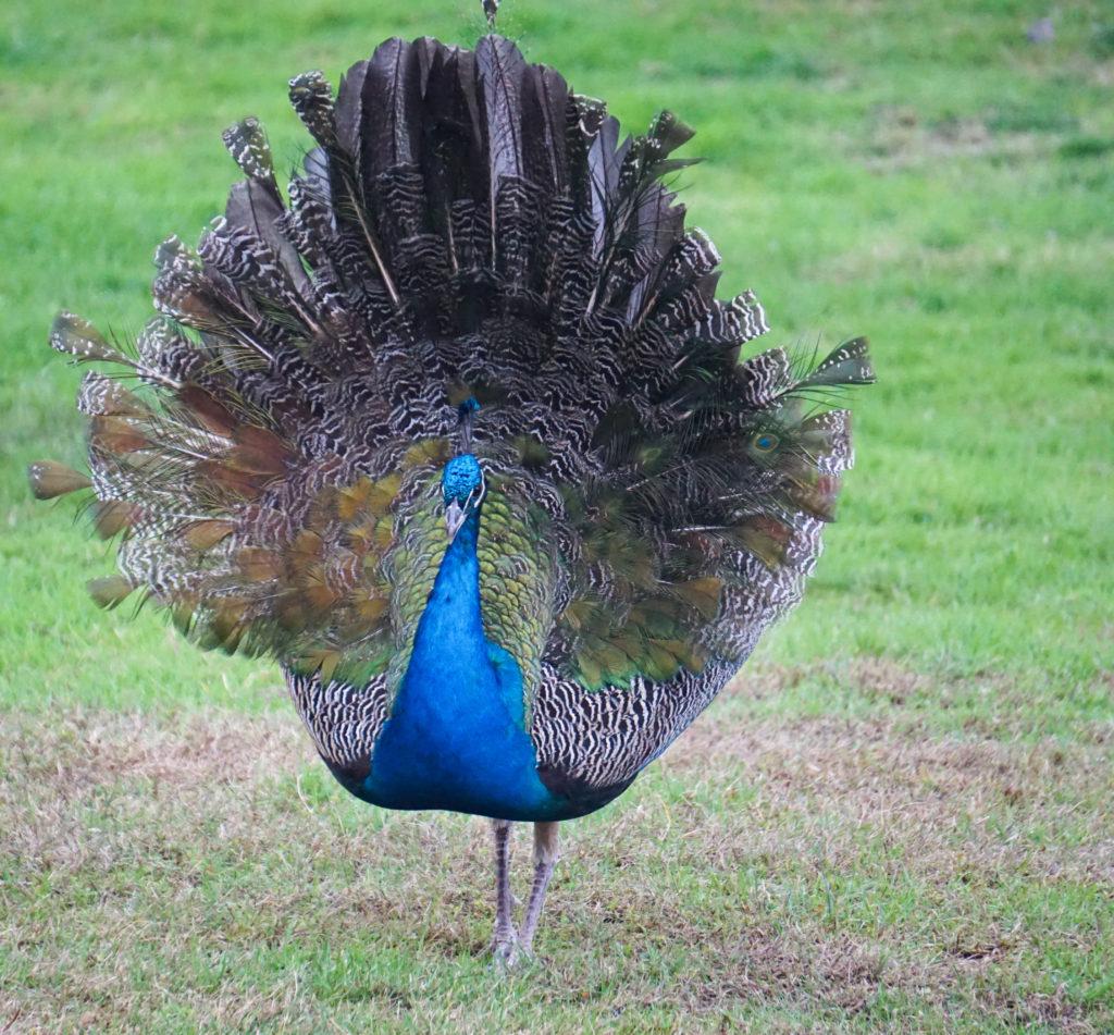Peacock at Castello di Amorosa Napa Valley California