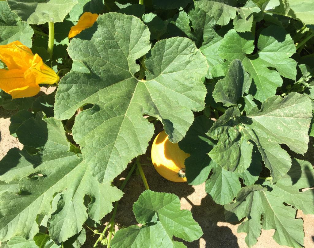 Squash in the kitchen garden Hall St. Helena Napa Valley California
