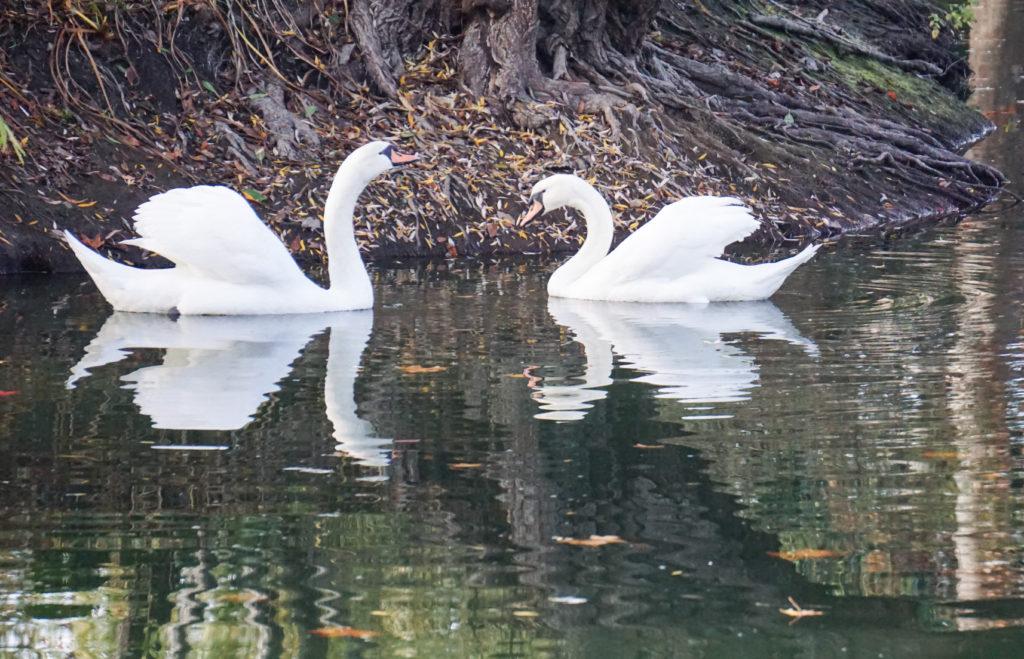 Swans in Jade Lake Chateau Montelena Napa Valley California