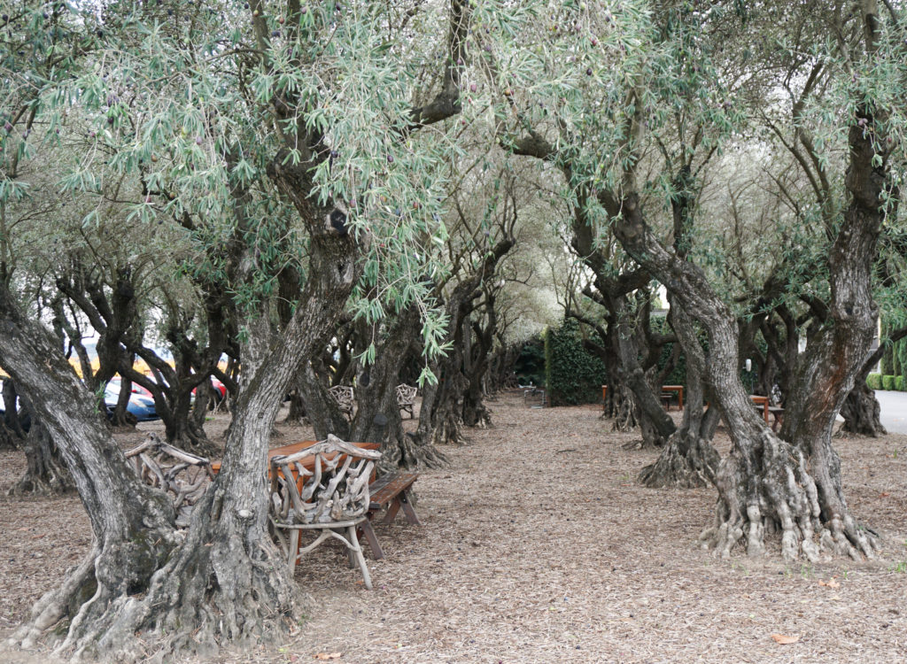 Grove of mature olives Round Pond Estates Napa Valley California