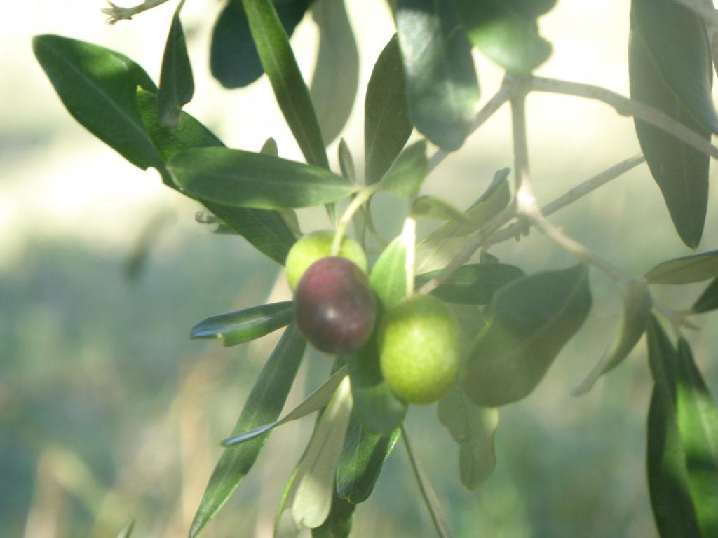 Olives in Tuscany Italy