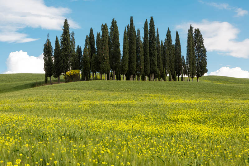 The Cypresses of San Quirico d'Orcia, Tuscany. Italy