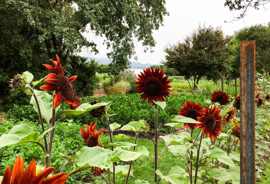 Giant sunflowers in the kitchen gardens of the French Laundry in Yountville California