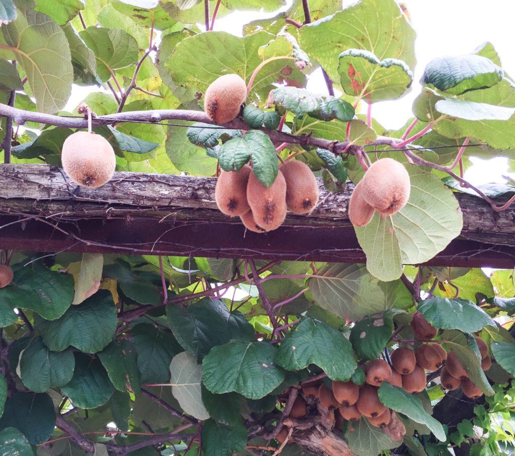 Fruit trees at Da Gelsomina in Anacapri Italy