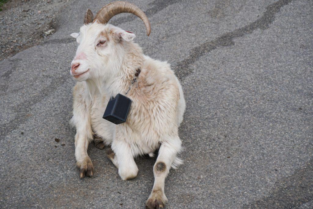 The goats of Mt. Floyen in Bergen, Norway
