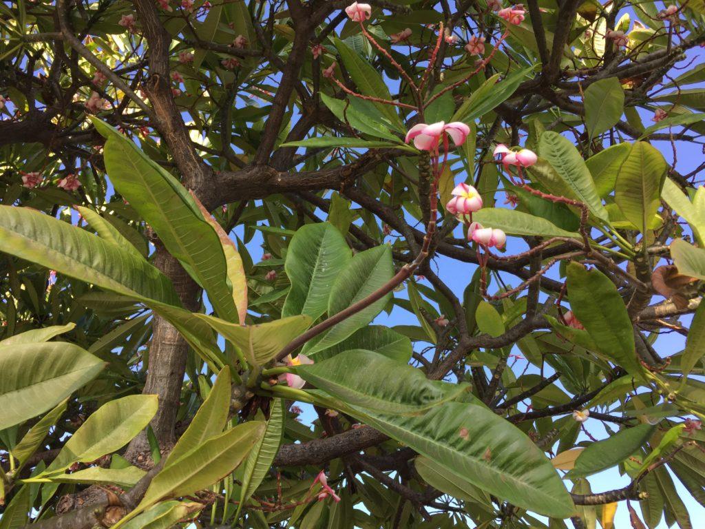 Plumeria Blossom Maui Hawaii