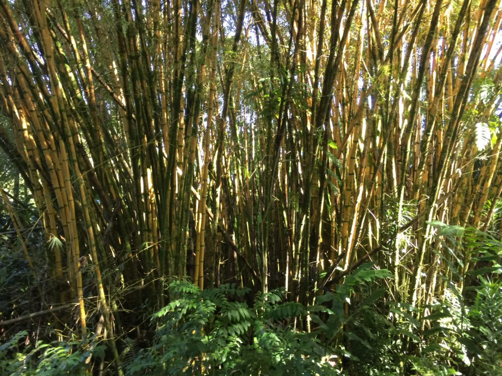 Bamboo in Maui Hawaii