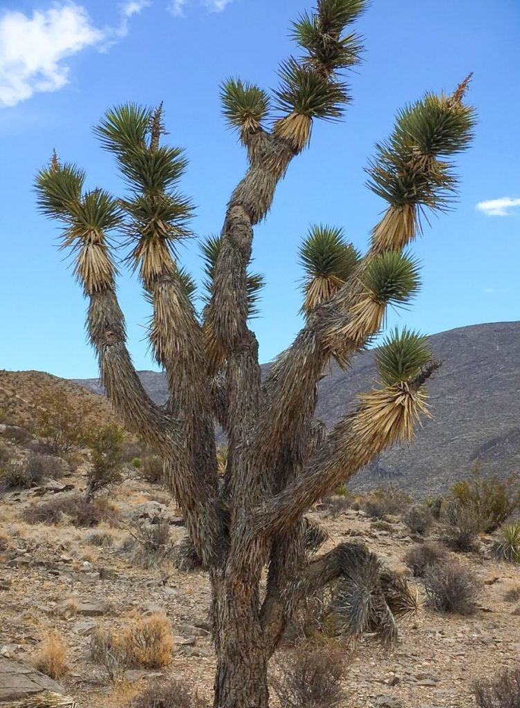 Joshua Tree on the route to Mt. Charleston Nevada