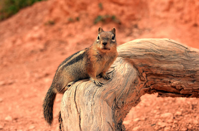 A squirrel in Bryce Canyon NP Utah