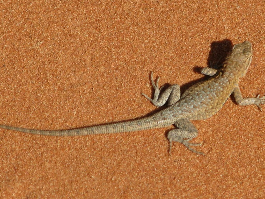 Lizard at Valley of Fire Park in Nevada