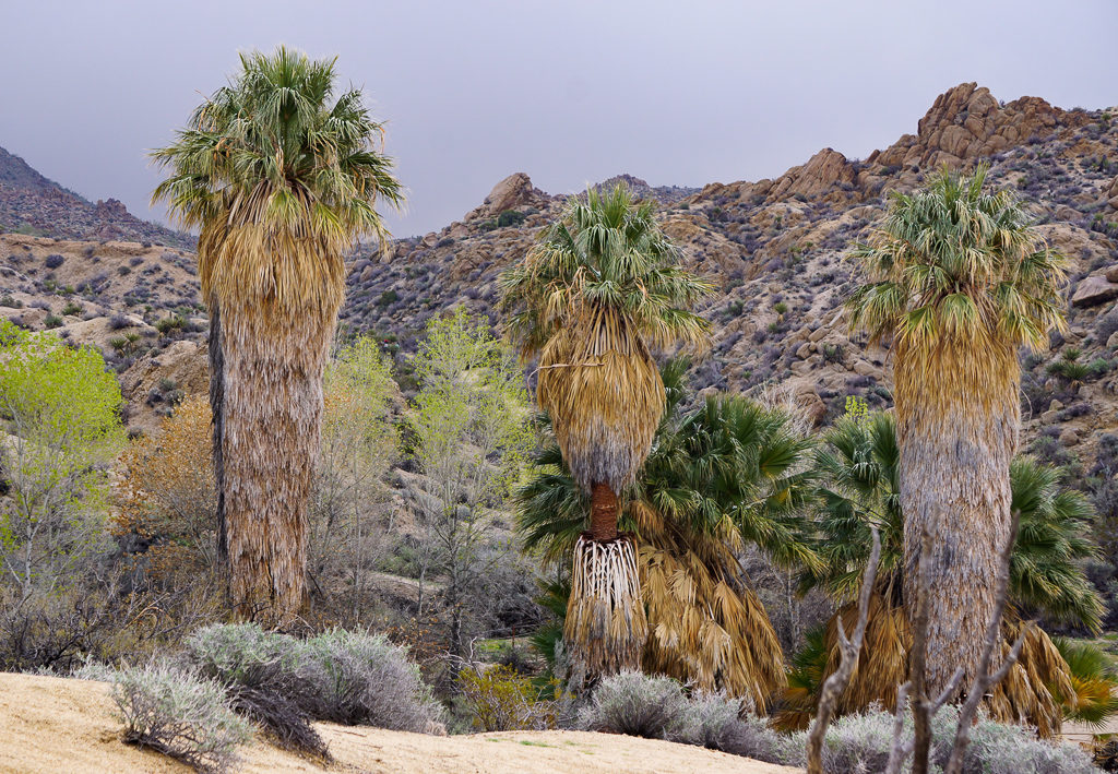 Fan palms at Cottonwood Spring Oasis in Joshua Tree National Park, California, USA