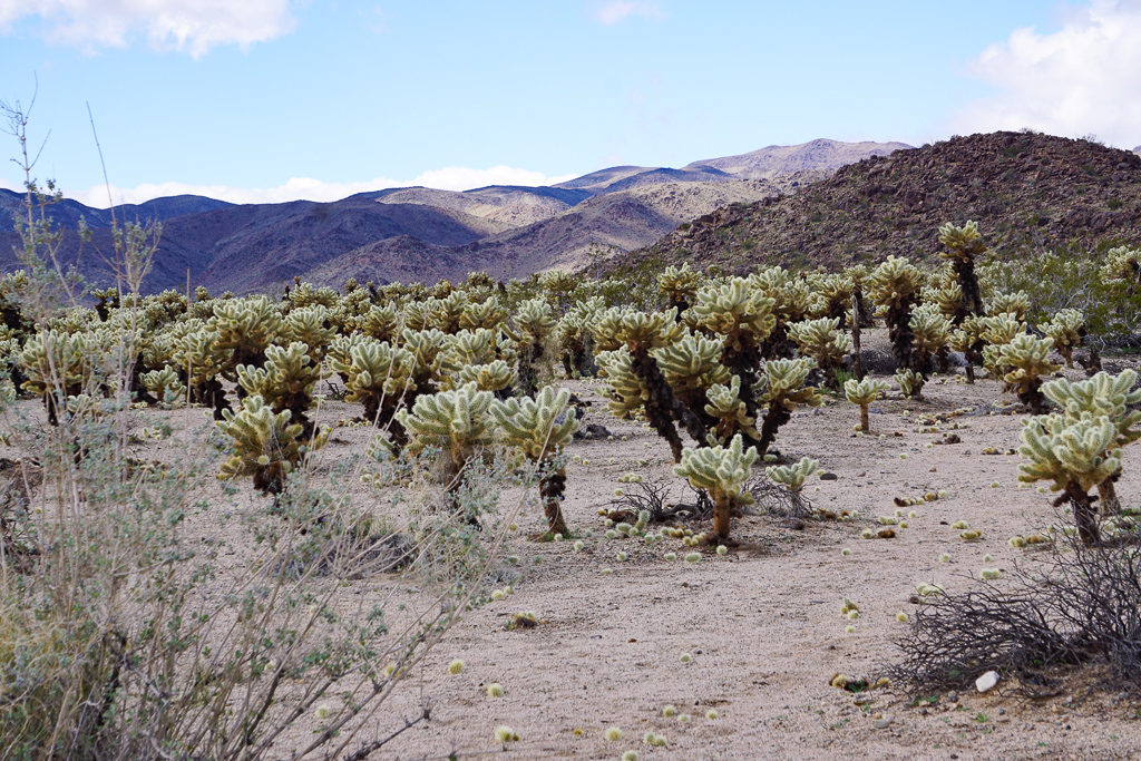 Strolling through the Cholla Cactus Garden is one of the fun things to do in Joshua Tree!