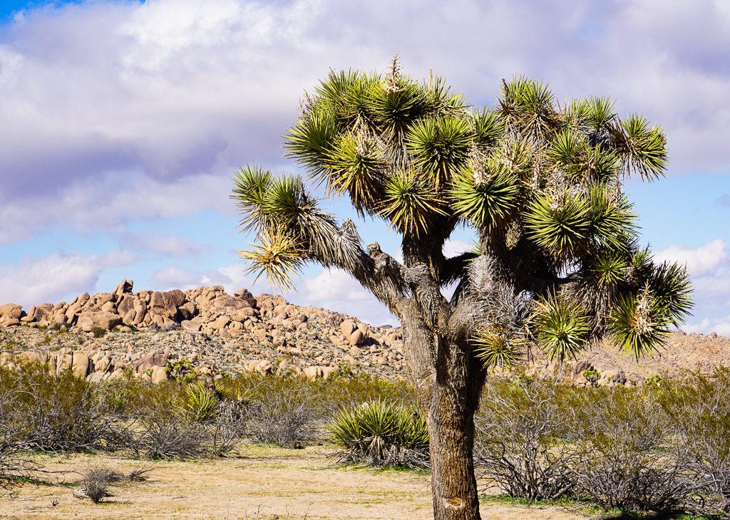 A mature Joshua tree in Joshua Tree National Park in California USA
