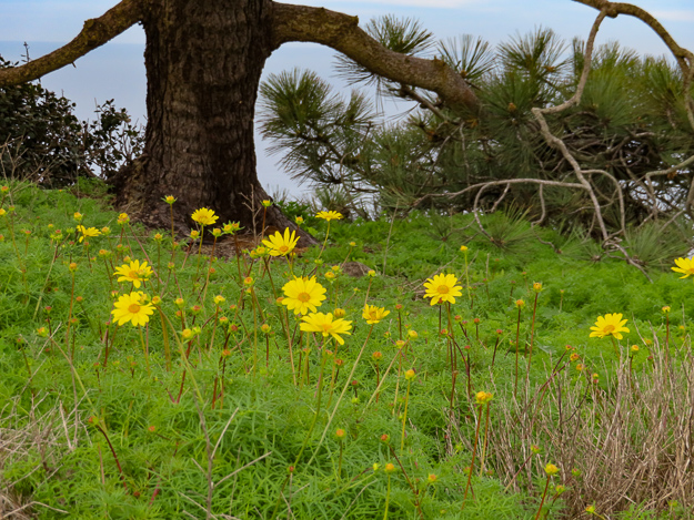 Sea Dahlia Cabrillo National Monument San Diego California