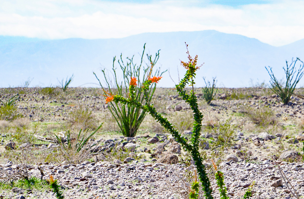 Ocotillo in bloom at Anza-Borrego State Park, California