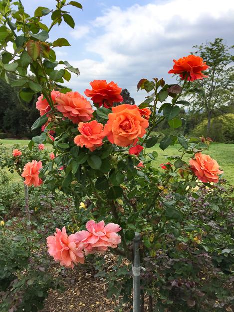 Rose Garden Huntington Gardens Pasadena California