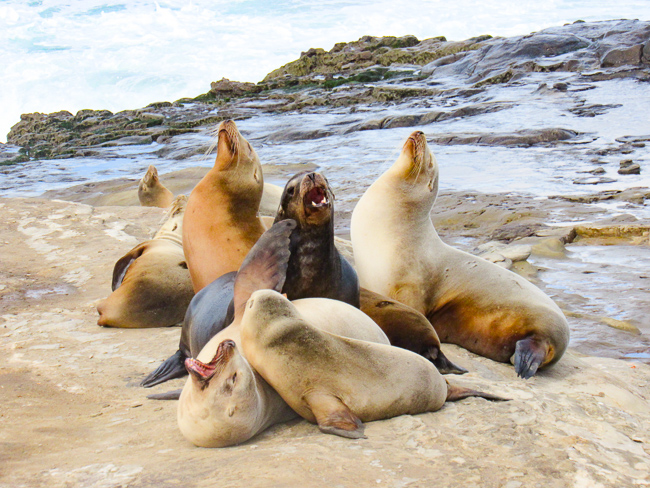 Sea lions at La Jolla Cove, California