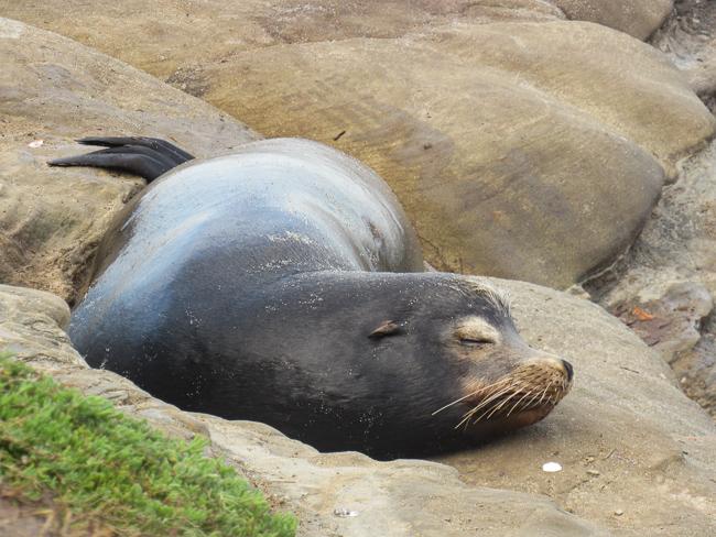 Sleeping sea lion at La Jolla Cove, California