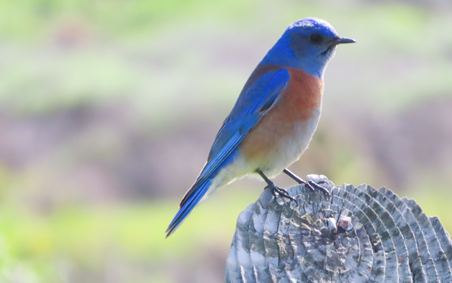 The Western Bluebird, Cabrillo National Monument, San Diego, California