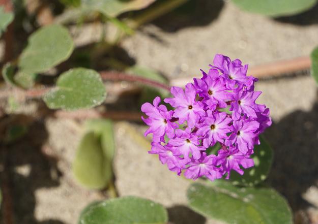 Wildflower Bloom Anza-Borrego State Park California