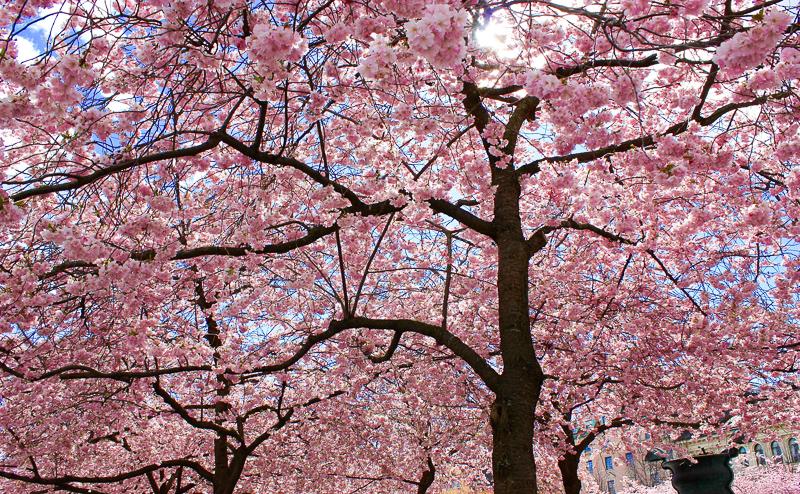 Cherry Blossom Stockholm Sweden