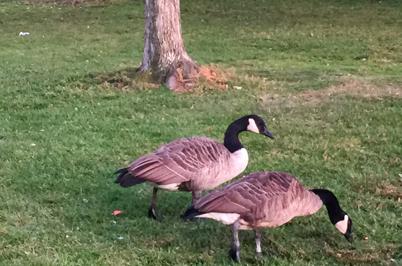 Geese at the Boston Public Garden