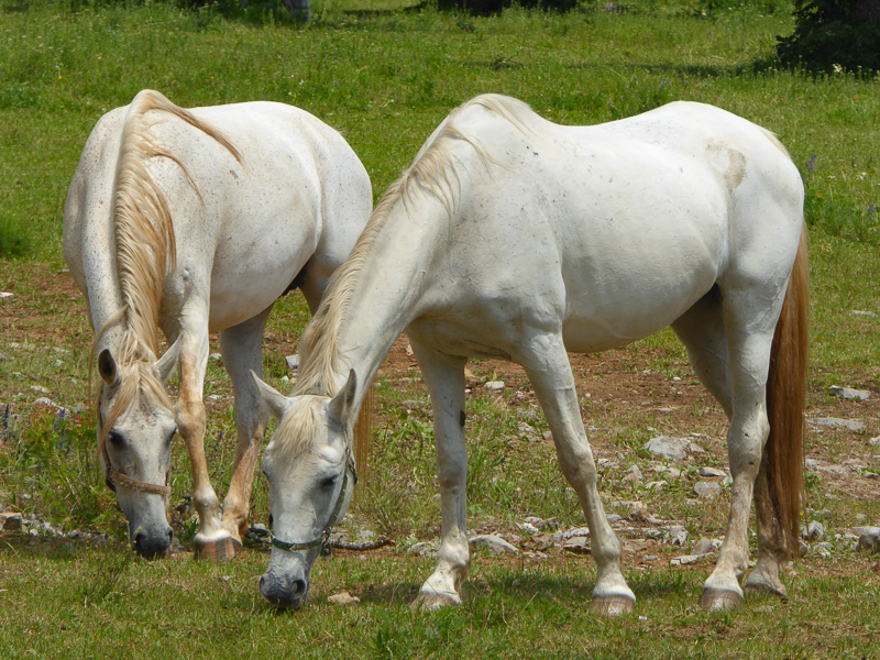 Lipizzaner horses at the Lipica Stud Farm in Lipica, Slovenia