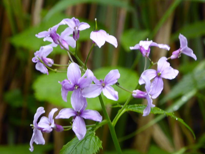 Purple wildflowers Vintgar Gorge Slovenia