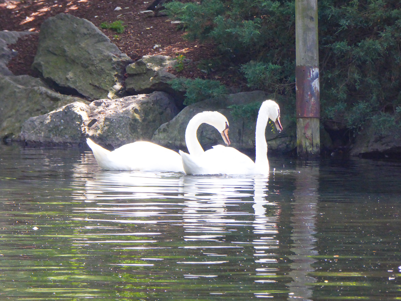 A pair of swans at the Boston Public Garden In Boston, Massachusetts, USA