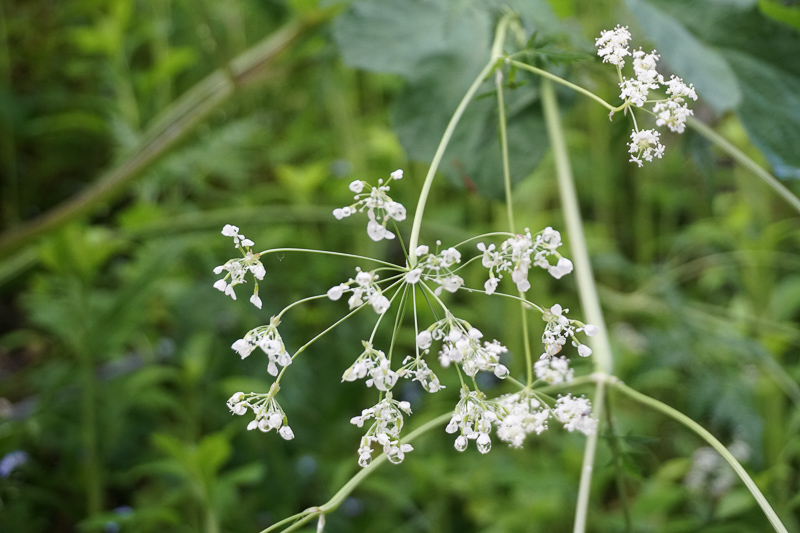 White Wildflowers Vintgar Gorge Slovenia