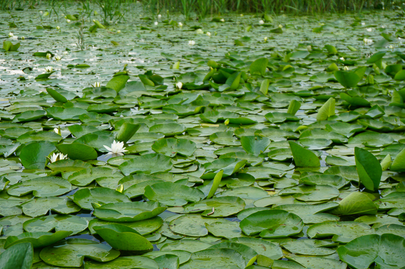 Lily pad meadows on Lake Skadar