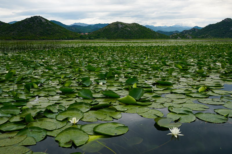 Lily pads on Lake Skadar in Montenegro