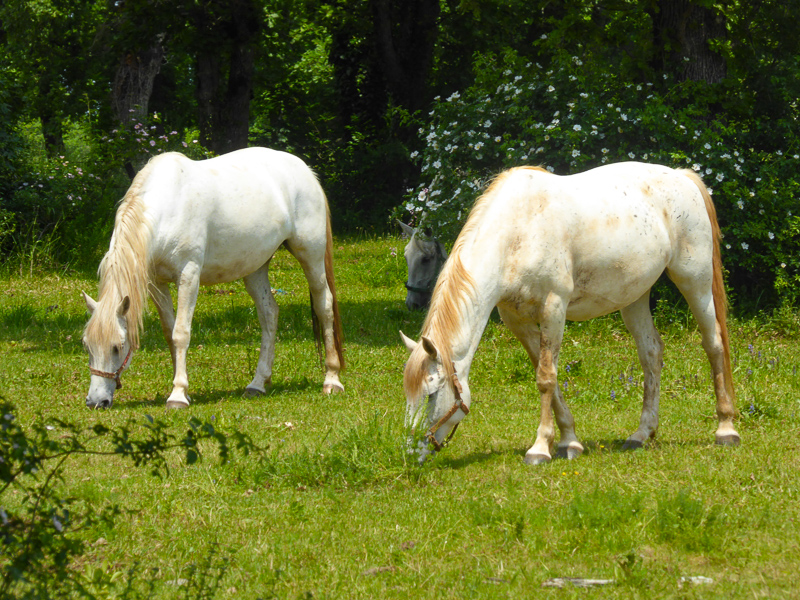 Lipizzaner mares at Lipica Stud Farm in Slovenia