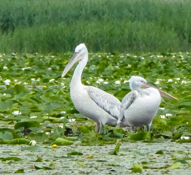 Pelicans Lake Skadar Montenegro