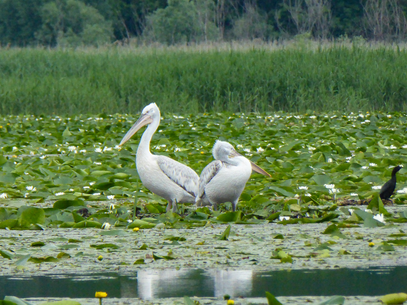 Pelicans on Lake Skadar in Montenegro
