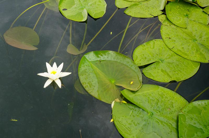 Water Lily Lake Skadar Montenegro