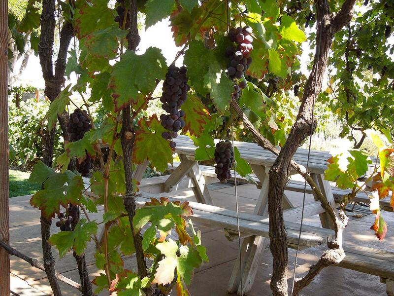 Grape Vines Paso Robles California USA