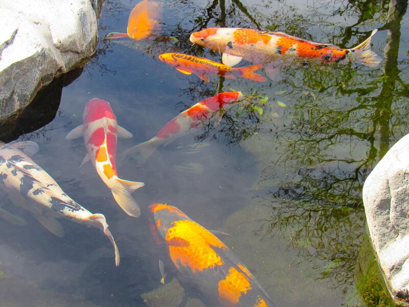 Koi Pond Japanese Garden Balboa Park San Diego California USA