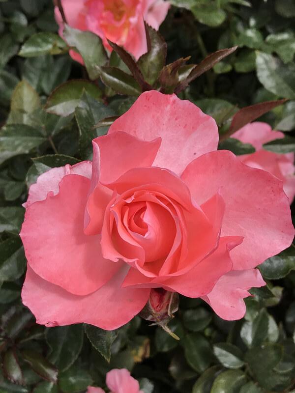 Rose Garden Balboa Park San Diego