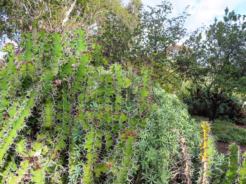 Succulent in Desert Garden at Balboa Park San Diego california USA