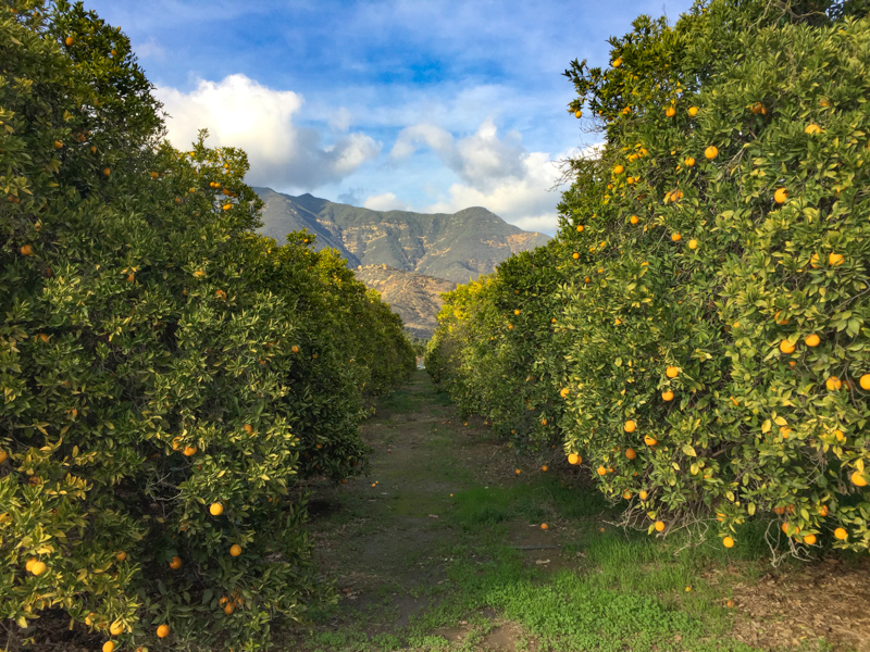 Citrus Grives Ojai California